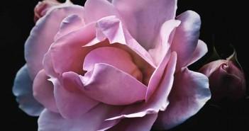 Aceite de rosa mosqueta, un producto de belleza natural